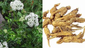 ORGANIC ANGELICA SINENSIS Ampoules