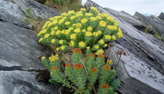 RHODIOLA ROSEA Ampoules NATURE HEALTH
